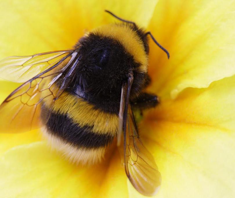 bumble bee.jpeg