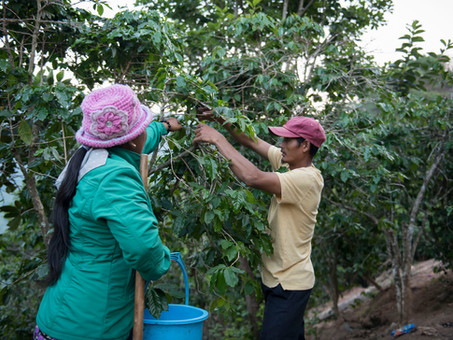 From driver to solution: coffee agroforestry in Viet Nam