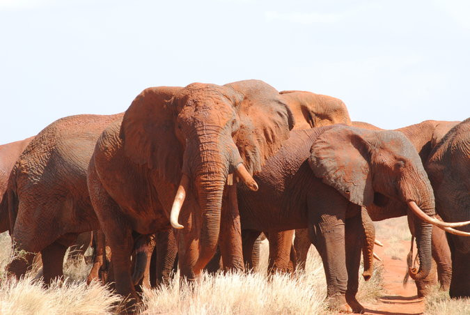 Elephants in the Rukinga Sanctuary in Kenya. (Photo: Elephants in the Rukinga Sanctuary in Kenya. (Photo: Amy Yee, NYT)