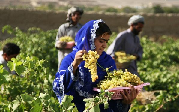 ブドウ農業