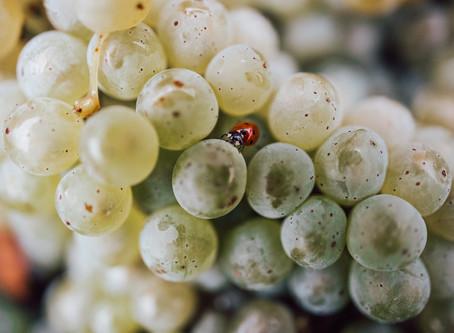 Drei Weingüter - Ein Tag Traubenlese