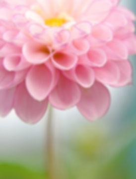 pinkflowerwithblue.jpg