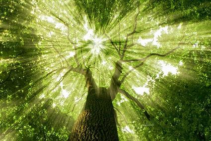 lightthrugreentree.jpg