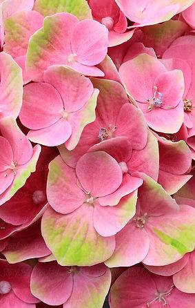 pinkandgreenhydrangea.jpg