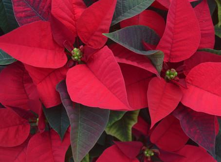 Como cuidar la Poinsettia (Flor de Navidad) Algunos consejos.