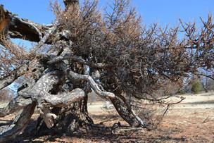 Эксперты объявили топ-5 старейших деревьев России