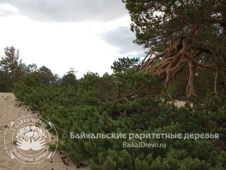 Деревья экзотических форм на дюнных песках Ольхона