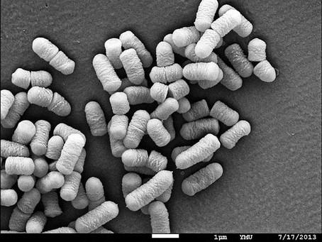 動物實驗︰福菜篩出的益生菌 可吃掉憂鬱
