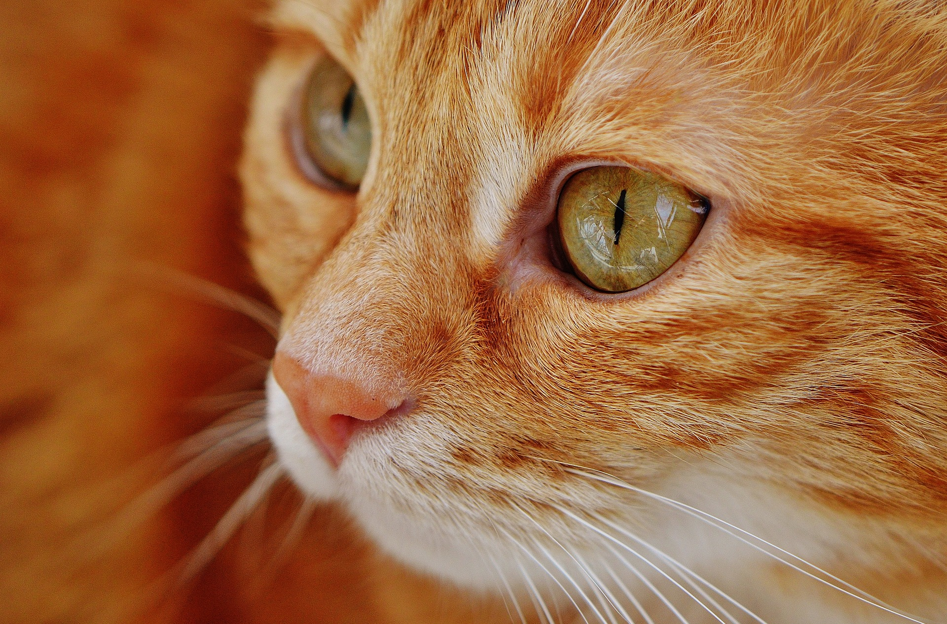orange-cat-pixabay.jpg