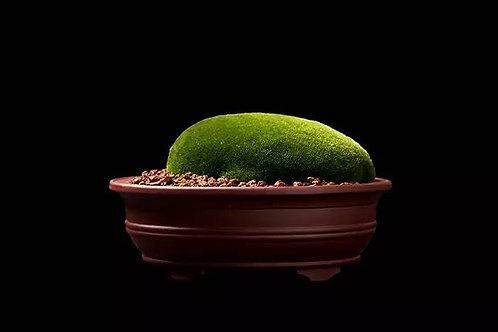 Moss on Pot