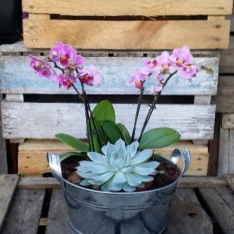 Potted Orchid with Succulent