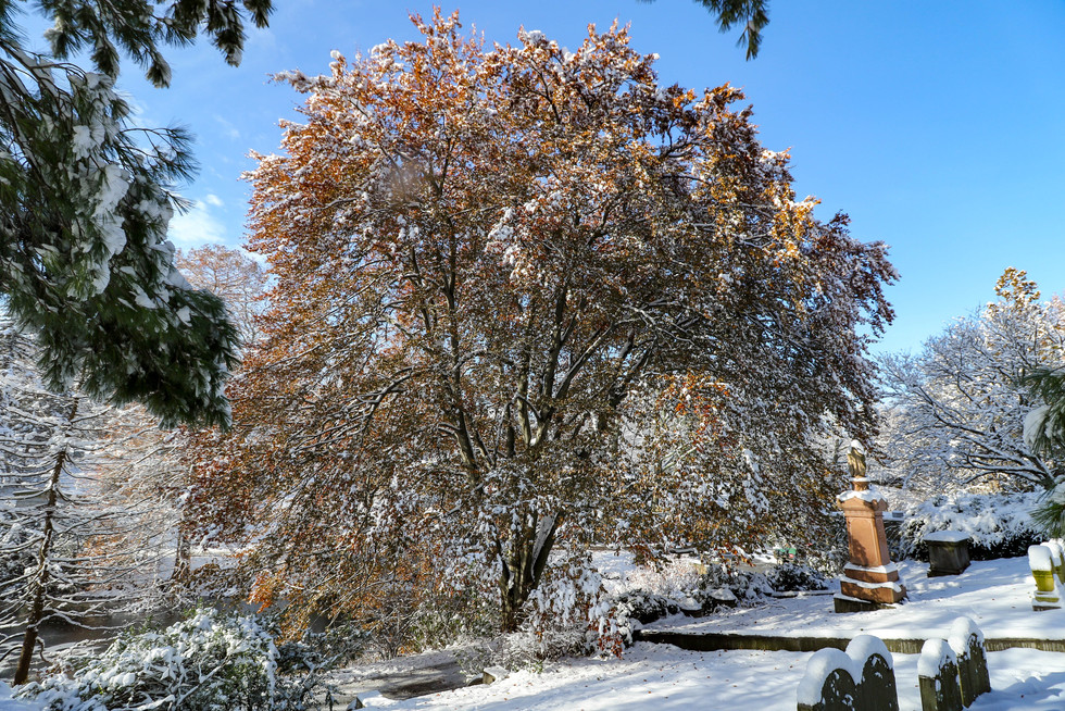 """""""Sell your cleverness and buy bewilderment."""" -Jalaluddin Rumi. Another spectacular beech tree at Mount Auburn Cemetery, with a fresh coat of snow. December 2017."""