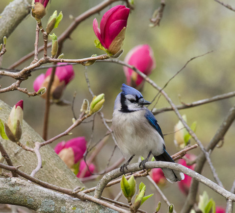 Blue Jay Magnolia