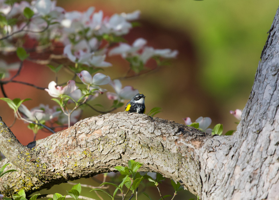 Yellow-rumped Warbler in Dogwood