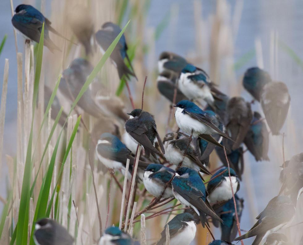 Tree Swallow huddle
