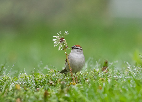 Chipping Sparrow in dandelions