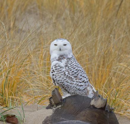 Snowy Owl Stare-down