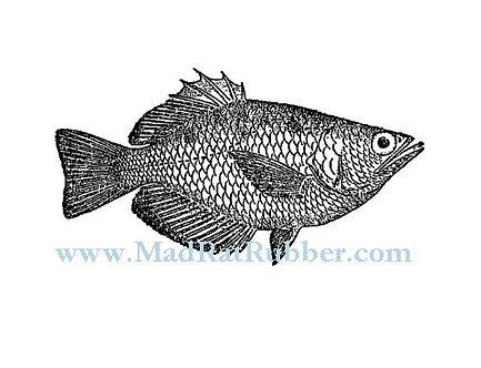 V638 Archer Fish