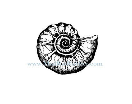V621 Ammonite Shell Fossil