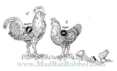 V141 Chicken Reproduction
