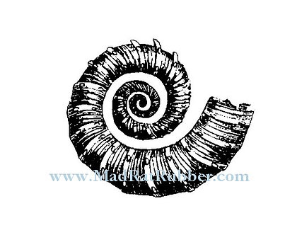 V622 Ammonite Shell Fossil Thin