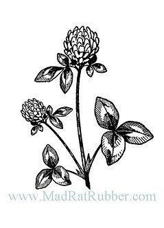V584 Clover Plant