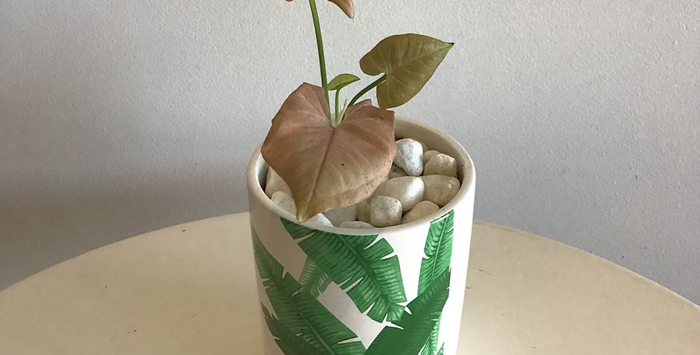 Potted Plant -  Syngonium in Banana Leaf Pot
