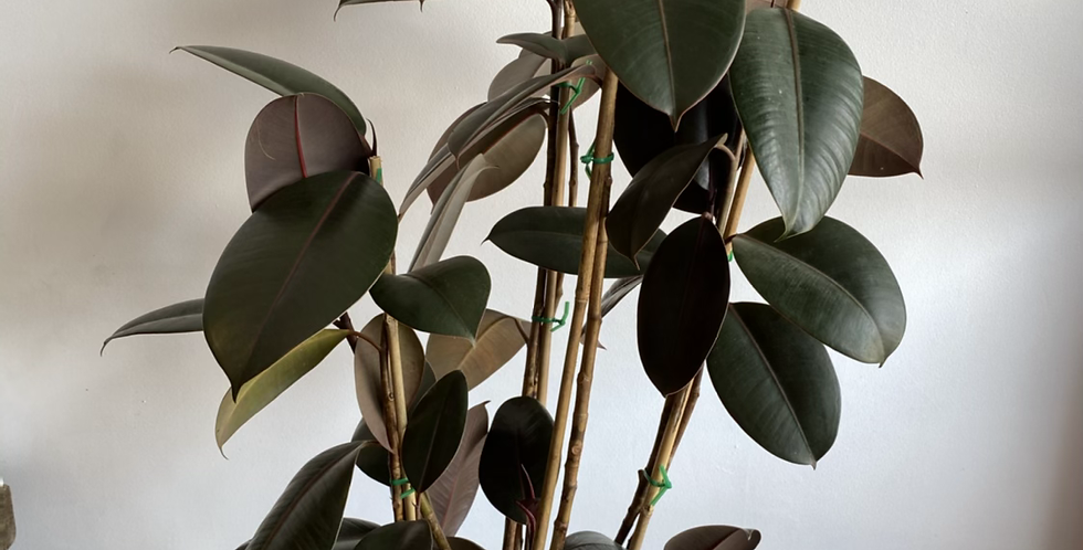 Potted Plant -  Burgundy Ficus in Cream Pot