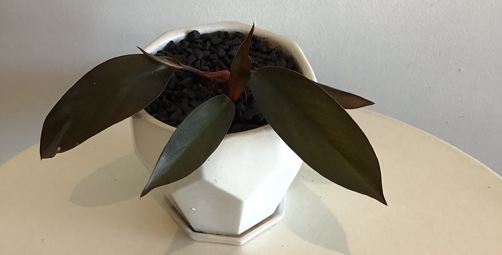Potted Plant -  Philodendron Prince of Orange in White Pot