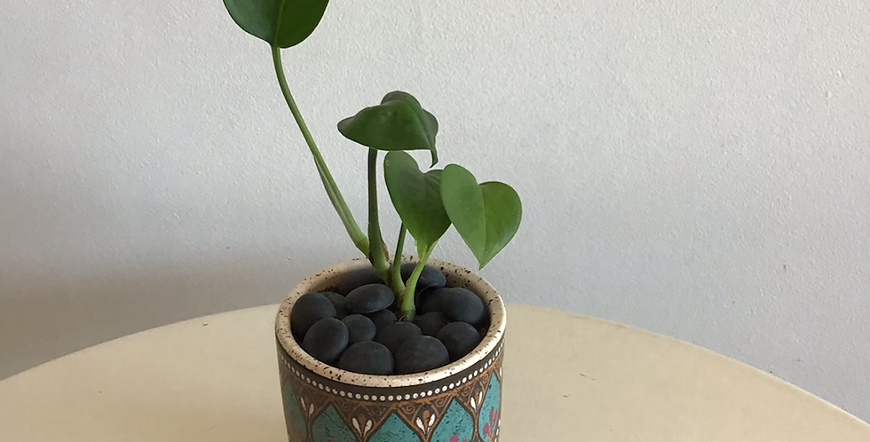 Potted Plant -  Philodendron in Moroccan Pot
