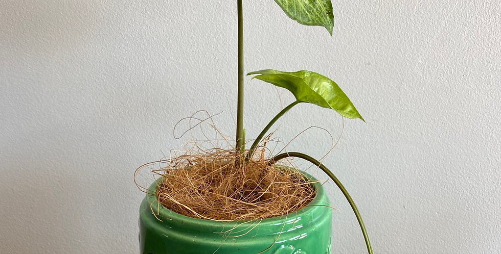 Potted Plant -  Syngonium in Monstera Pot