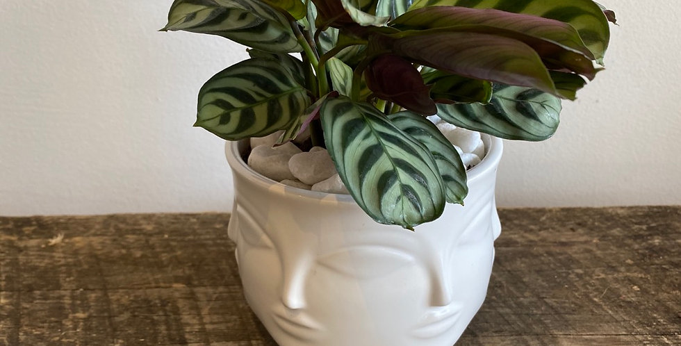 Potted Plant -  Calethea in Face Pot