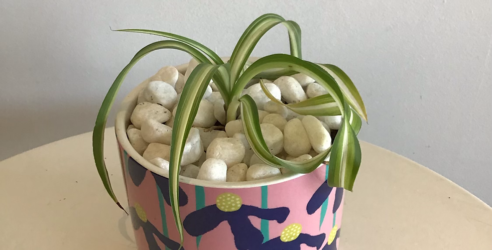 Potted Plant -  Curly Spider Plant in Flower Pot