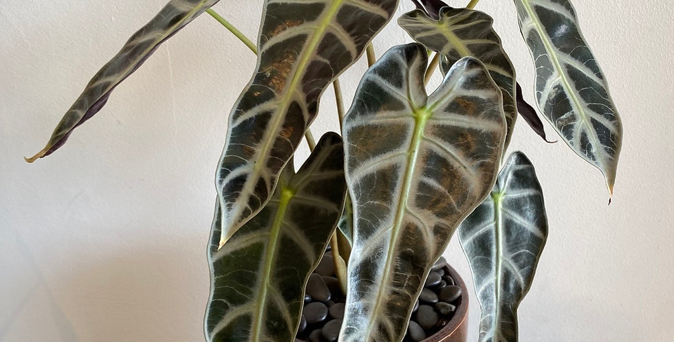 Potted Plant -  Alocasia in Burnt Pot