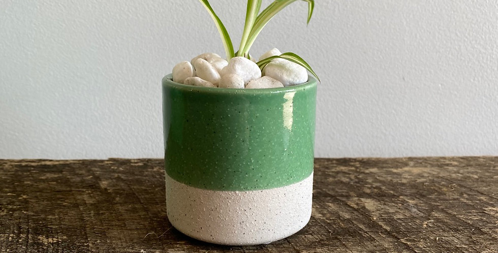 Potted Plant -  Spider plant in Green Pot