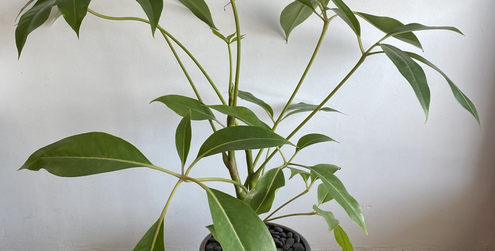 Potted Plant -  Umbrella Plant in Brown Pot