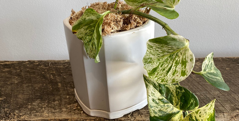 Potted Plant -  Pothos in White Pot