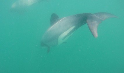 Hector's Dolphin