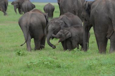 Sri Lankan Elephant calves