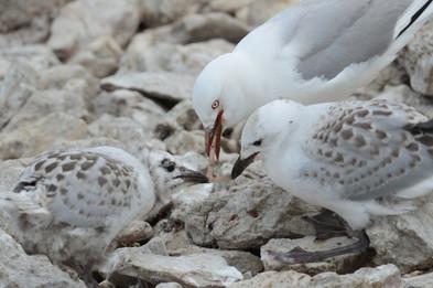 Silver gulls
