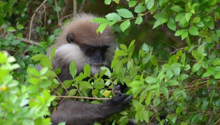 Purple Leaf Monkey