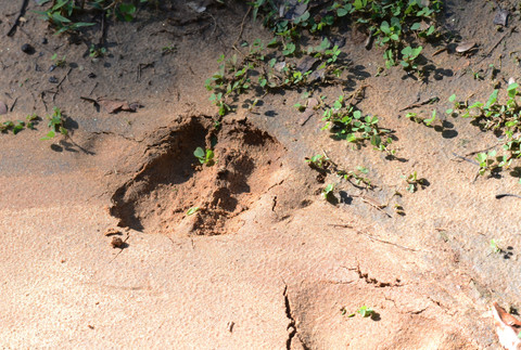 Sloth bear footprint