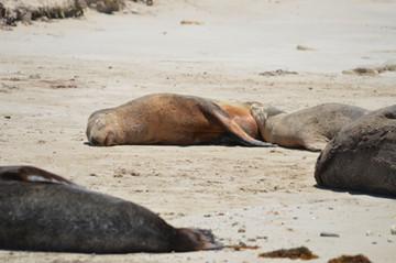 AUSTRALIAN SEA LIONS.JPG