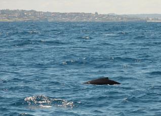 Humpback infront of Sydney