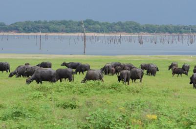 Asiatic Water Buffalo