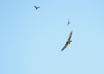 Golden Eagle and Hooded Crows