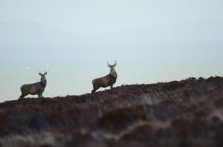 Red Deer Stags
