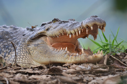Salt Water Crocodile
