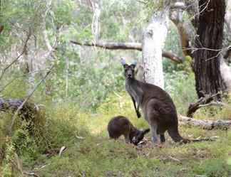 Western Grey Kangaroos