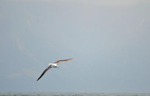 Northern Royal Albatross